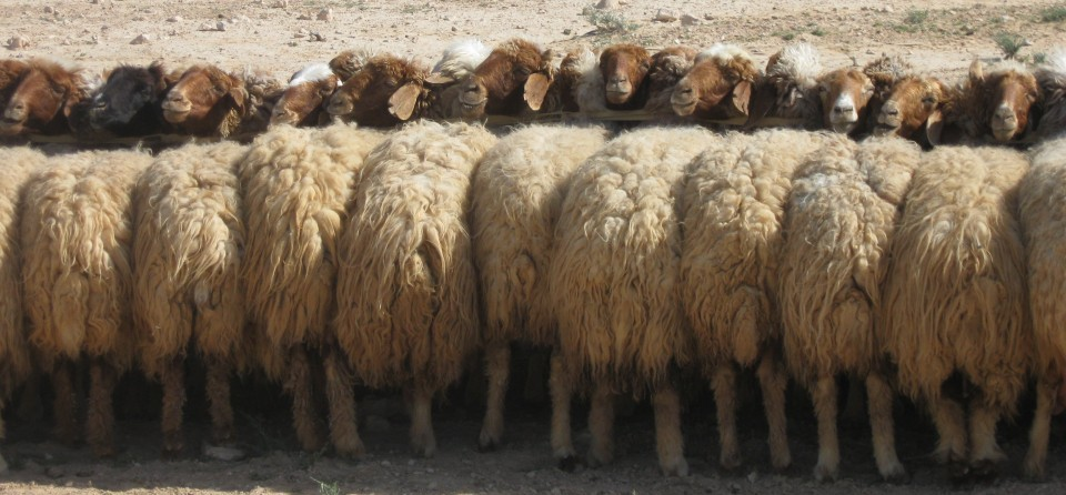 Nomads' sheep, Palmyra, Syria